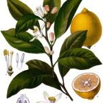 Limone (Foto Wikipedia; Clicka per ingrandire)