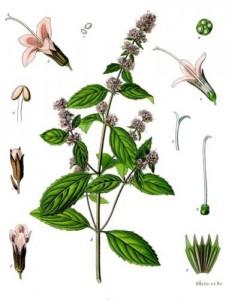 La Menta (Foto Wikipedia; Clicka per ingrandire)