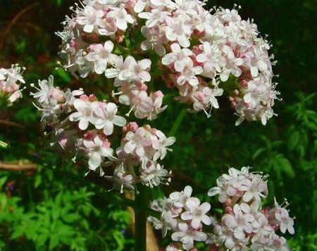 La Valeriana Officinalis